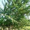 การปลูกผักหวานป่า ตอน การปลูกไม้พี่เลี้ยง