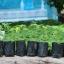 ต้นกล้ามะละกอพันธุ์ฮอลแลนด์ หรือ ปลักไม้ลาย(แพ็ค3ต้น) thumbnail 1