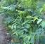 ต้นผักหวานบ้าน thumbnail 1