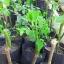 กิ่งพันธุ์ผักหวานบ้าน thumbnail 3