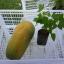ต้นกล้ามะละกอพันธุ์ฮอลแลนด์ หรือ ปลักไม้ลาย(แพ็ค3ต้น) thumbnail 2