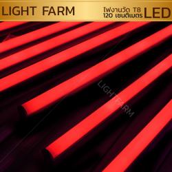 หลอดไฟงานวัด LED (ไฟนิ่งไม่กระพริบ) สีแดง / หลอดไฟ T8 หลอดสี