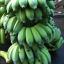 กล้วยสุกทอด เบรกแตก (140g.) thumbnail 11